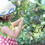神奈川県横浜市でブルーベリー狩り!よこはまあさひブルーベリーの森レポ